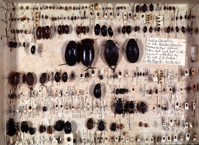 Darwin's Beetle Collection, © University Museum of Zoology 2013