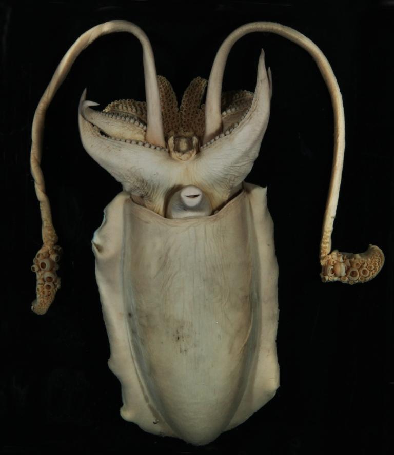 Sepia officinalis
