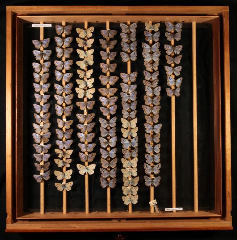 Large Blue Butterflies