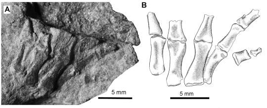 pentadactyl foot