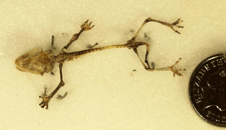 Leaf Tail Gecko