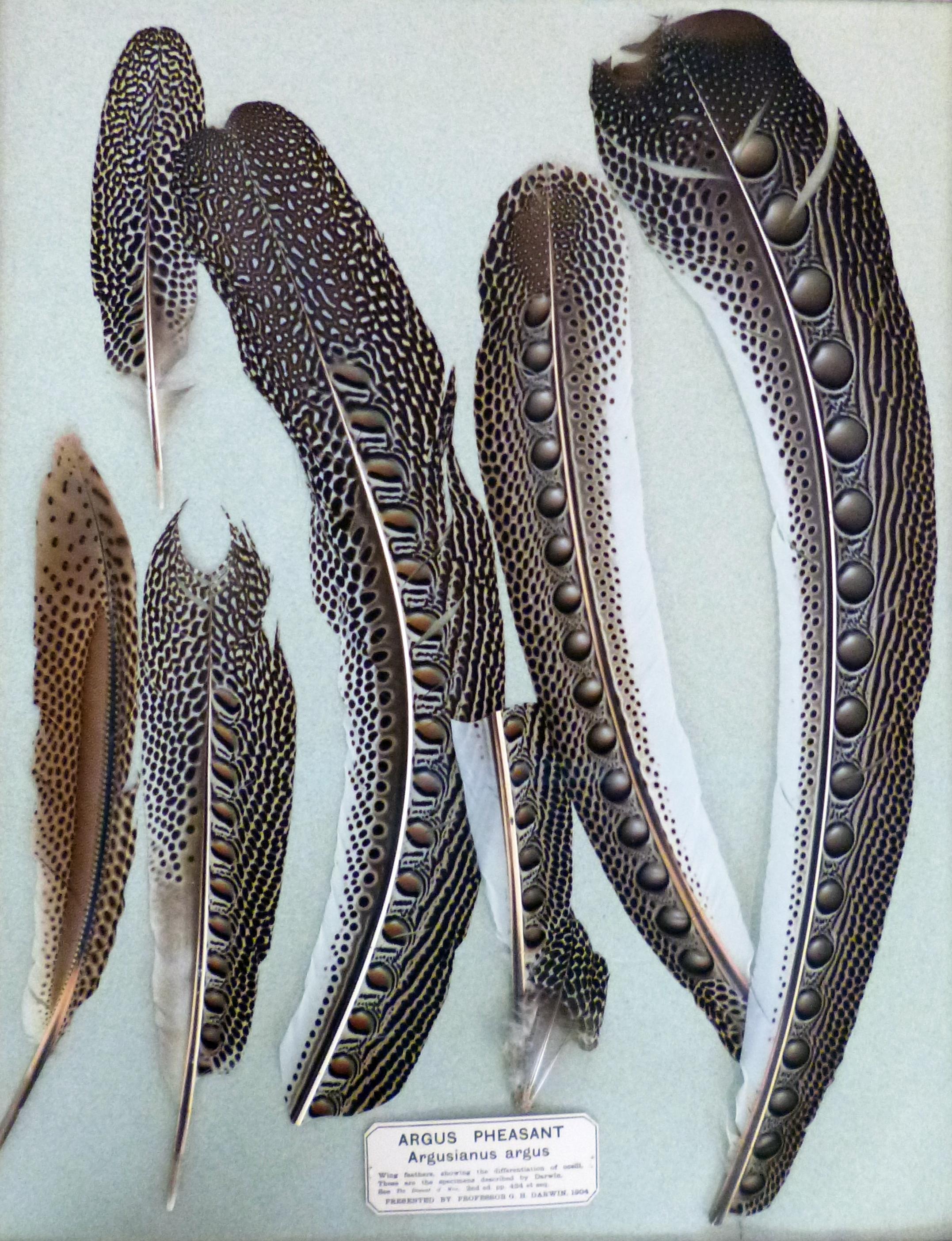 Argus Pheasant Feather...