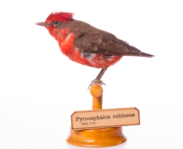 vermillion flycatcher museum