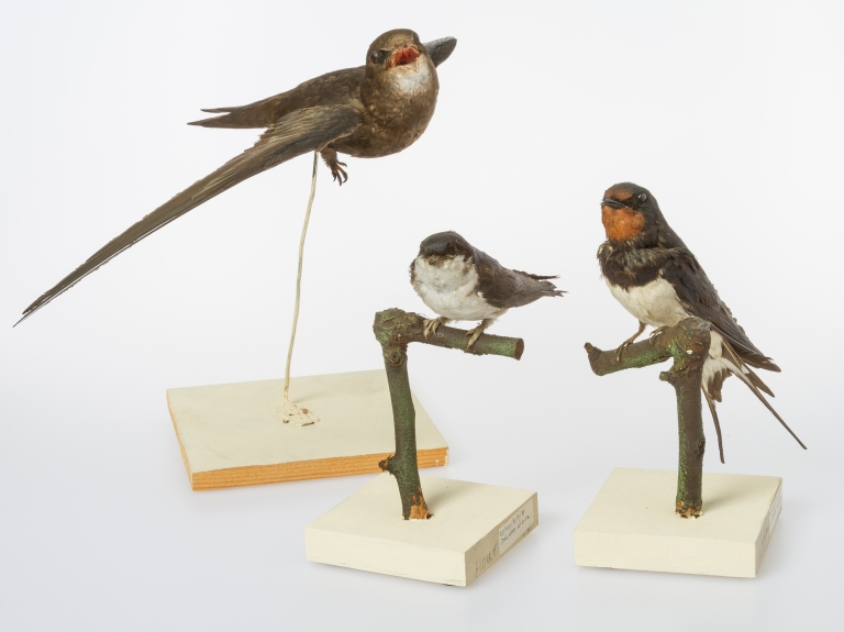 Swift, House Martin and Swallow