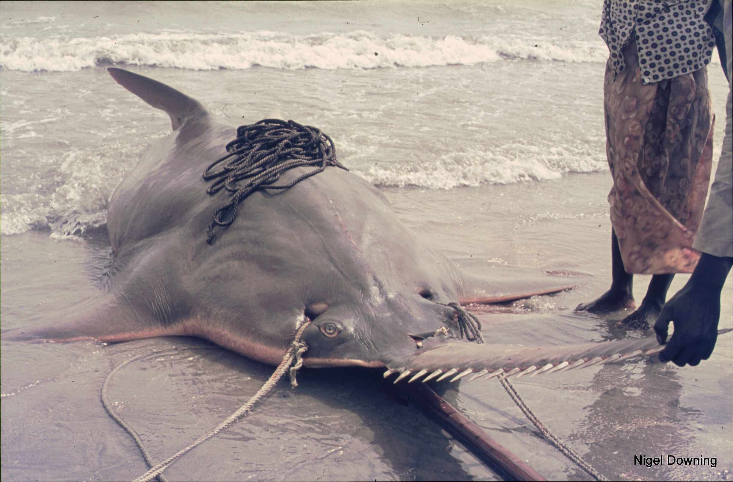 The Search For Sawfishes In West Africa