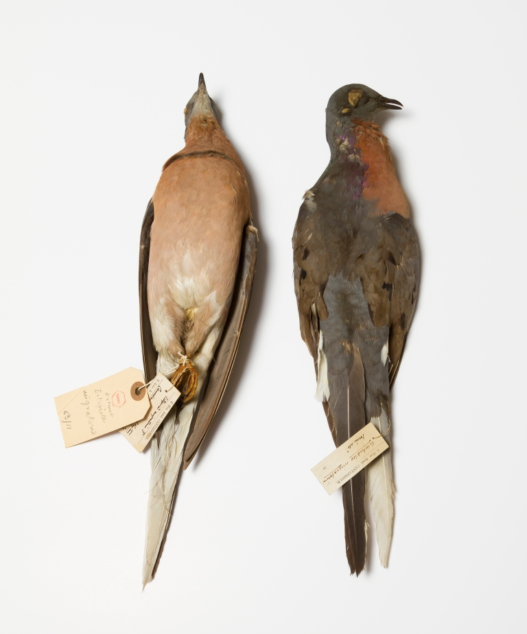 Passneger Pigeons