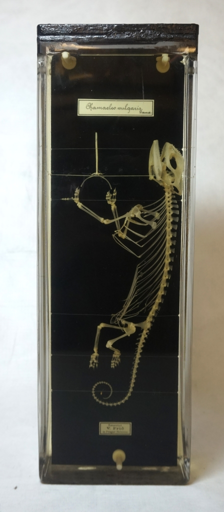 Chamaeleon skeleton