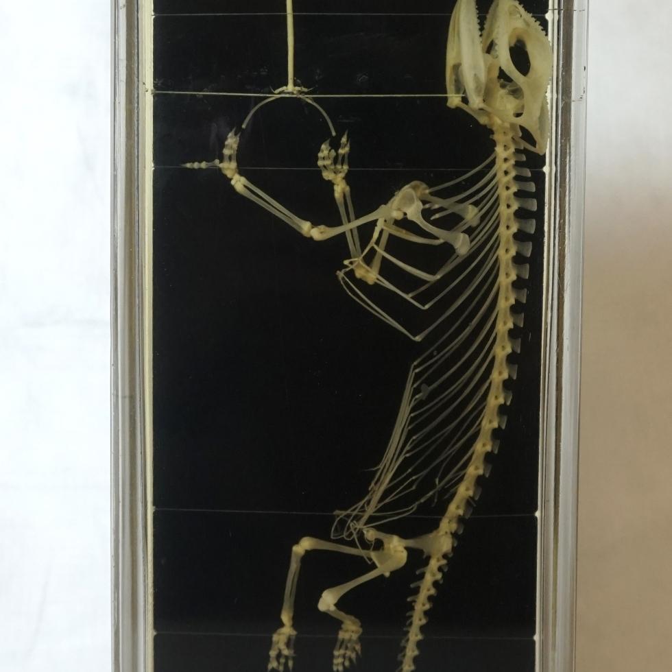 Chamaeleon skeleton