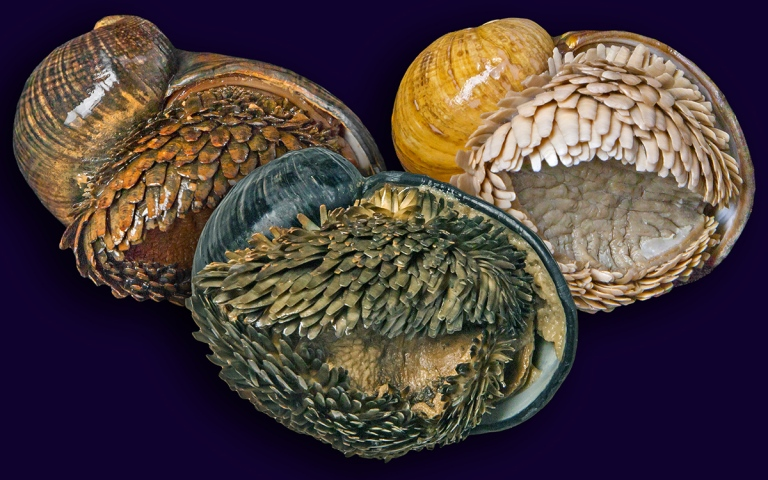 The three known forms of Chrysomallon squamiferum, from Kairei, Longqi, Solitaire vent fields (left to right)