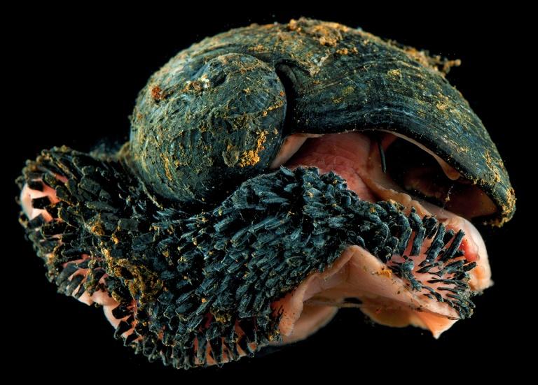 A specimen of Chrysomallon squamiferum photographed live (Photo: David Shale)