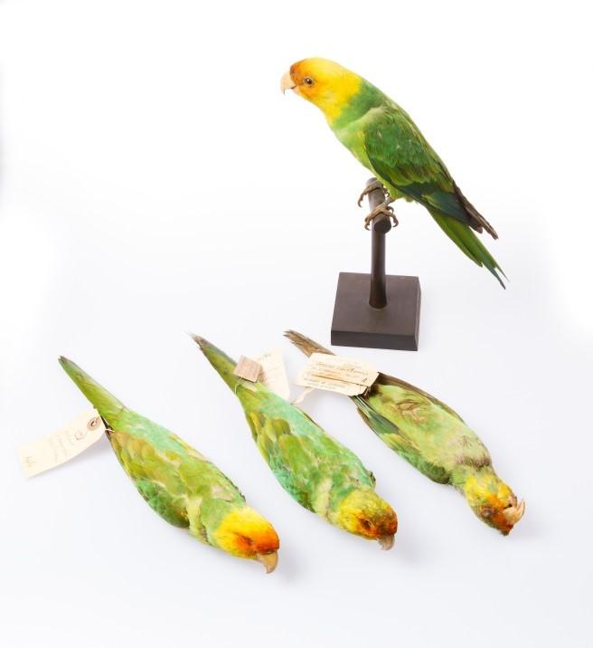 caronlina parakeet 2