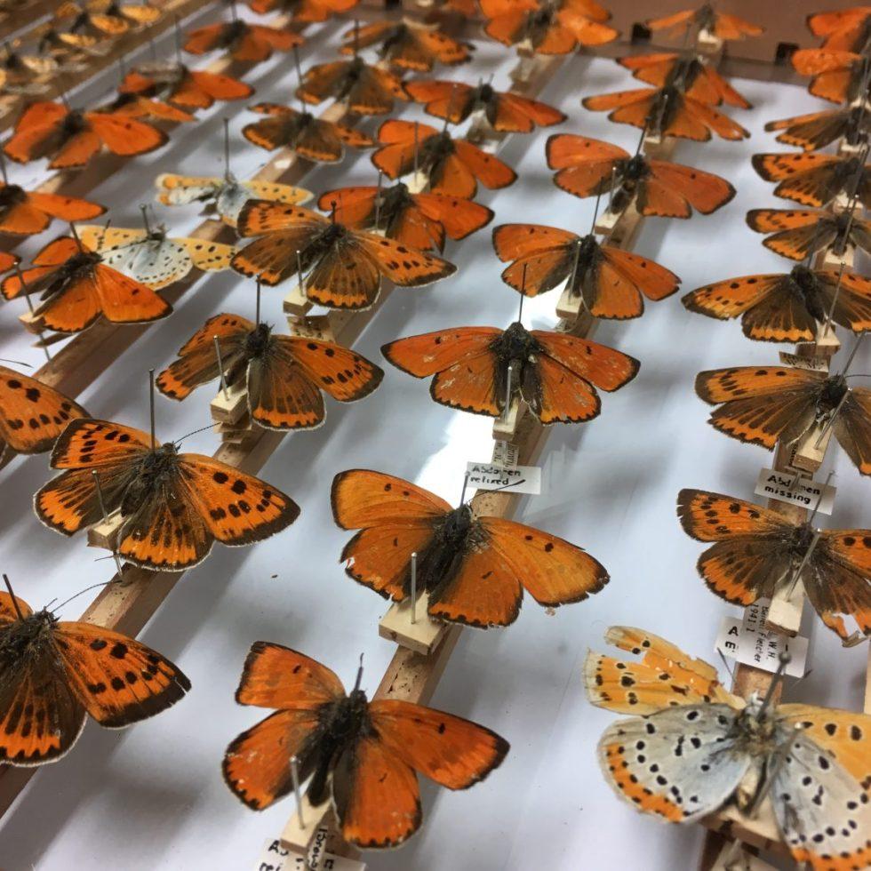 Large Copper Butterflies