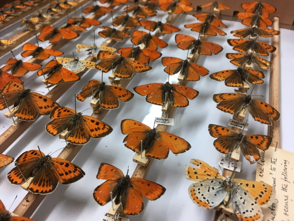 Large Copper Butterflies