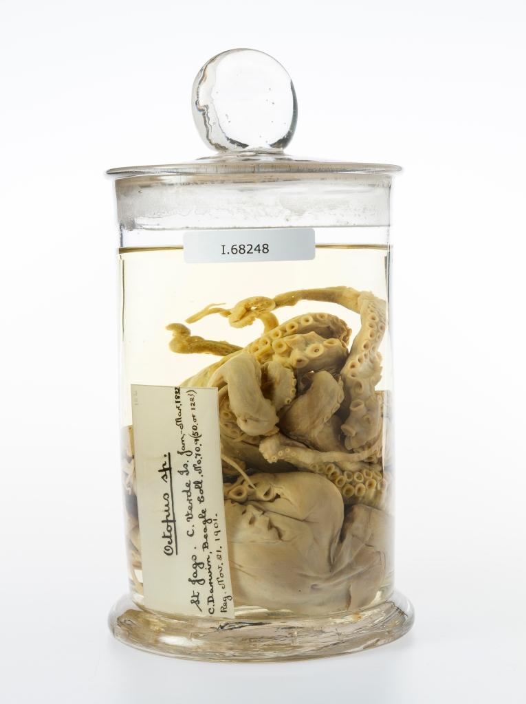 Darwin's Octopus
