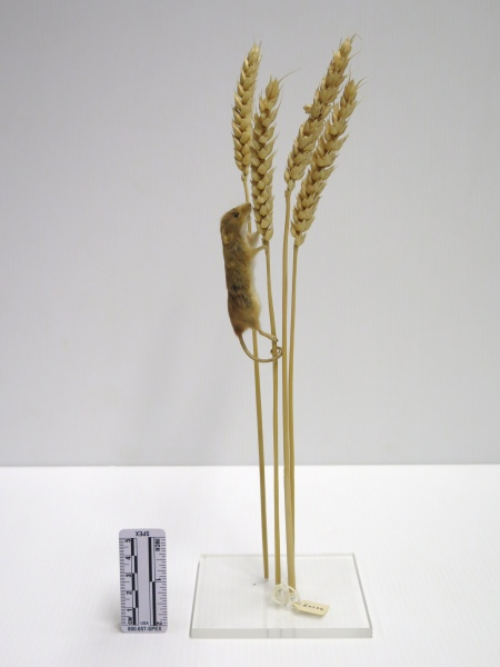 Photograph of a specimen of a harvest mouse