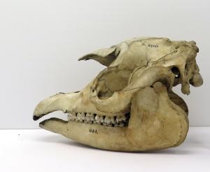 Skull of a Malayan tapir