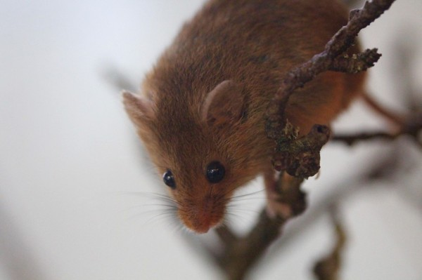 Photograph of a harvest mouse