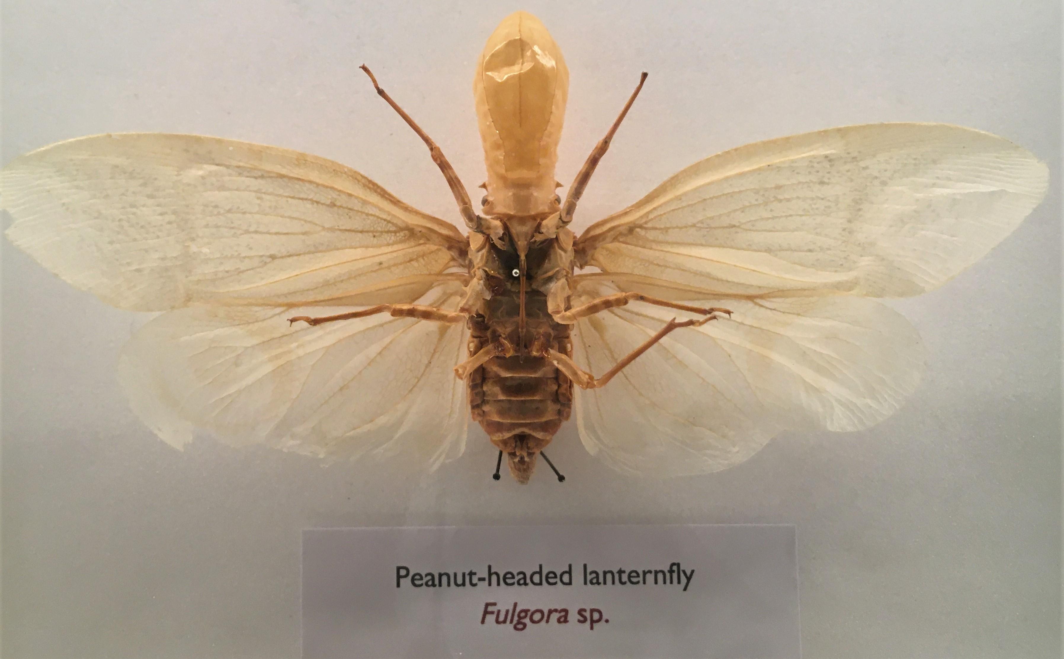 Peanut-headed lanternfly specimen