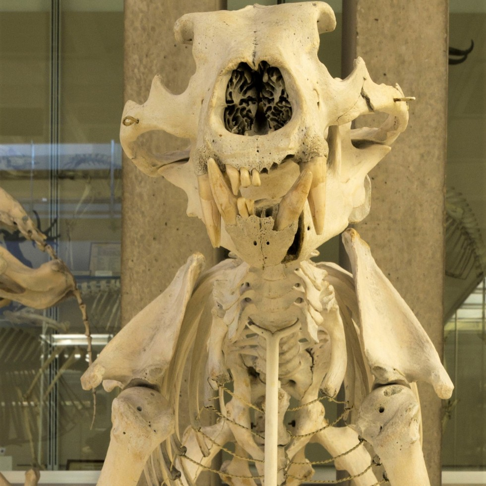 Photograph of the polar bear skeleton in the Museum of Zoology