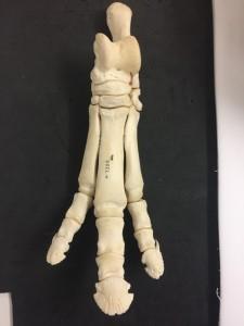 Skeleton of the foot of a tapir