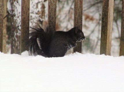 Photograph of a squirrel in the snow