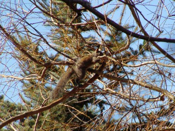 Photograph of a grey squirrel in a tree