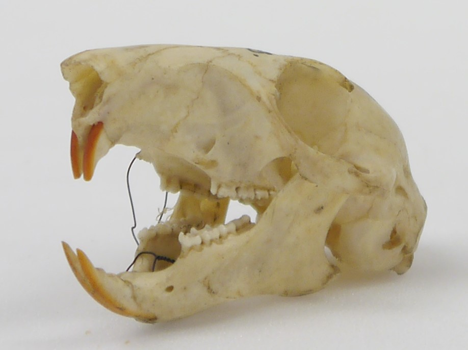 Photograph of the skull of a grey squirrel