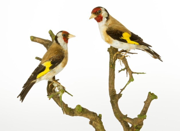 Photograph of a pair of goldfinch specimens on a branch