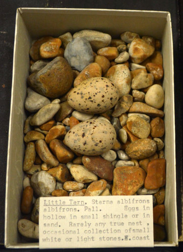 Box of shingle collected as a little tern 'nest' complete with eggs