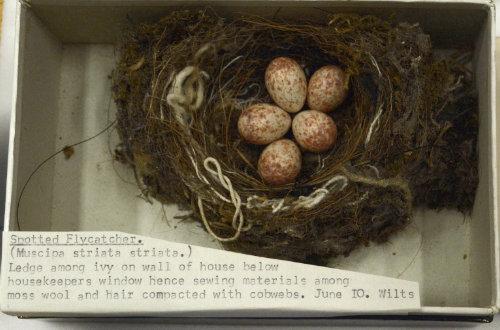 Nest of a spotted flycatcher