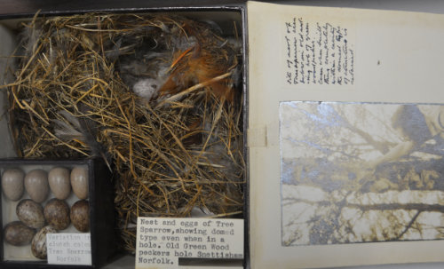 Photograph of the nest of a tree sparrow found in the nesting hole of a green woodpecker