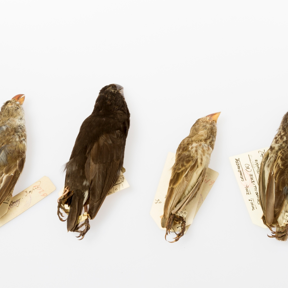 Galapagos finches at the Museum of Zoology