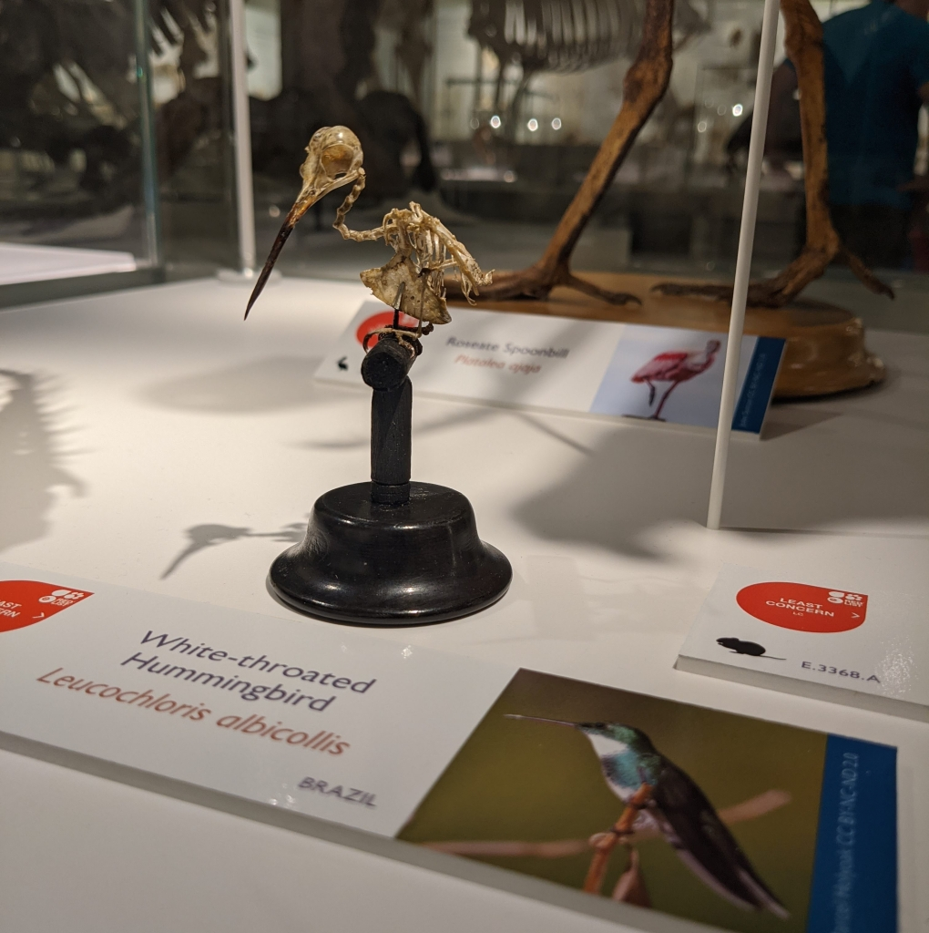 Skeleton of a white-throated hummingbird in the displays of the Museum of Zoology